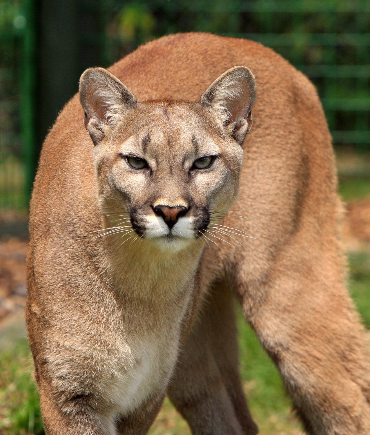 cougar-mountain-lion-puma-concolor-big-cat-53001